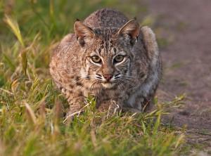 Crouching cat (bobcat)